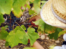Boy harvesting the grape Royalty Free Stock Images