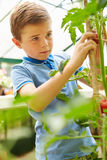 Boy Harvesting Home Grown Tomatoes In Greenhouse Royalty Free Stock Photos