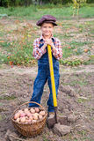 Boy harvesting potatoes in garden Royalty Free Stock Images