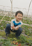 Boy harvesting strawberries. Picture of a little chinese boy larghing cheerfully while picking big and red strawberries and crouching in the fields at a spring Stock Photography