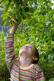 Boy harvests of apples Royalty Free Stock Photography