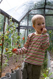 Boy harvests tomatoes Stock Photo
