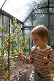 Boy harvests tomatoes Stock Photography
