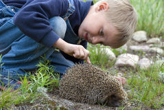 Boy and hedgehog. Boy with huge interest is looking at the hedgehog Stock Image