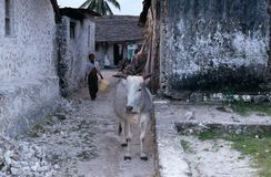 A boy with his cattle, Zanzibar Royalty Free Stock Image