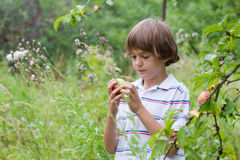 Boy holding an apple next to an apple tree. In a garden Stock Photography