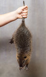 Boy holding a black nutria tail Royalty Free Stock Photography