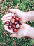 Boy holding the chestnuts in the hands Stock Photo