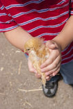 Boy holding chick. A boy holds a baby chicken Royalty Free Stock Photo