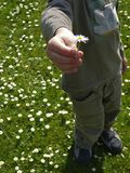 Boy holding daisy. Boy holding a white daisy Royalty Free Stock Images