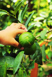 Boy holding a lemon in the garden Stock Photos
