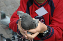 Boy holding pigeon. Small boy holding a pigeon in a town square. Boy is wearing a red woollen jumper and you can view other pigeons in the back ground. Use to Royalty Free Stock Photos