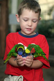 Boy holding two lorakeets in his hand Stock Photo