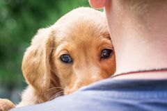 A boy holds on his hands a dog of breeds a cocker spaniel with a smart, concentrated look_. A boy holds on his hands a dog of breeds a cocker spaniel with a royalty free stock photos