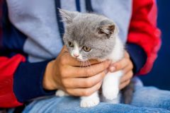 Boy holds on his hands small gray kitten Scottish Fold. Attract stock images