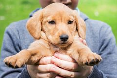The boy holds in his hands a small puppy breed of cocker spaniel_. The boy holds in his hands a small puppy breed of cocker spaniel royalty free stock photo