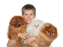 Boy holds three pomeranian spitz Stock Photography