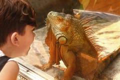 Boy with iguana lizard through the glass in zoo Stock Photo