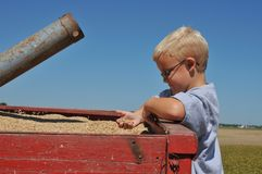 Boy Inspects Oats. Young Boy Inspects Oats in Farm Wagon Stock Photos