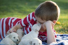 A boy laying on a blanket playing with cute little tan puppies royalty free stock photography