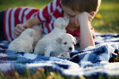 Little boy snuggling with cute tan puppies. A boy laying on a blue and white checkered blanket playing with cute little tan puppies and receiving a puppy kiss stock images
