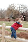 Boy looking at giraffes Royalty Free Stock Images