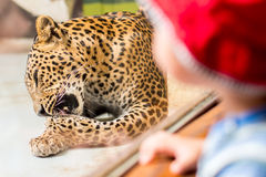 Boy is looking through glass on leopard in zoo Royalty Free Stock Photography