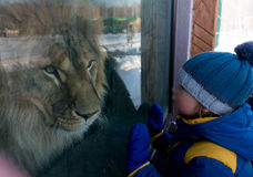 Boy looking through the glass at lion in winter zoo Stock Photography