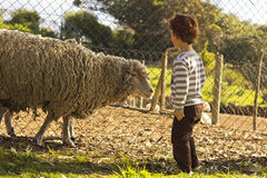 Boy looking at sheep Royalty Free Stock Photography