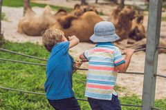 The boy looks at the camels at the zoo Royalty Free Stock Images