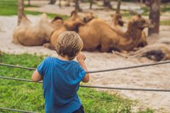 The boy looks at the camels at the zoo Royalty Free Stock Photos