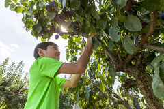 Boy looks for plums to pick. Royalty Free Stock Image