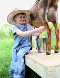Boy milking a dairy goat royalty free stock photography