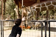 Boy Petting Giraffe Stock Photo