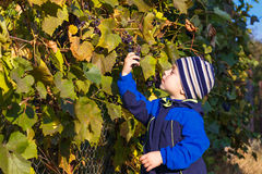 Boy picked grapes Stock Image