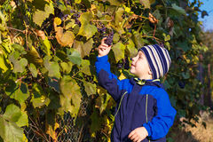 Boy picked grapes Stock Images