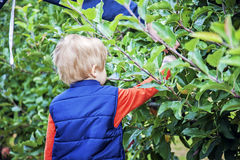 Boy picking apples Stock Photo