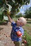Boy Picking Apples Stock Photos