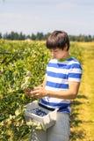 Boy picking  blueberries on a farm. Boy picking  fresh blueberries on a farm Stock Photography