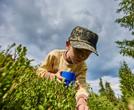 Boy picking blueberries Royalty Free Stock Images