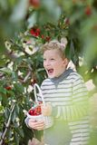 Boy picking cherries. Playful laughing boy picking cherries in the orchard holding basket full of berries, healthy eating and activity concept Royalty Free Stock Photography