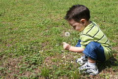 Boy Picking Dandelions From The Yard Stock Images