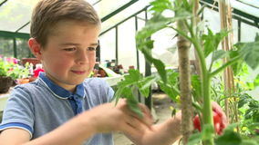 Boy Picking And Eating Home Grown Tomatoes In Greenhouse stock footage