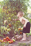 Boy picking green tomato Stock Photography
