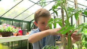 Boy Picking Home Grown Tomatoes In Greenhouse stock video footage