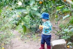 Boy  picking an orange Stock Image