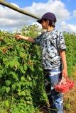 Boy Picking Raspberries Stock Image