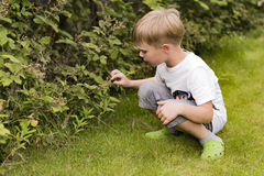 Boy picking raspberries Royalty Free Stock Photography