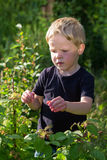 Boy picking raspberries to eat Stock Photography