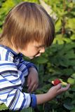Boy picking strawberries. In the garden Stock Photos